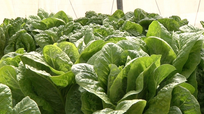Lettuce ' successful experience of hydroponics in Palestine