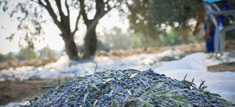 The olive harvest from the country of beauty and peace of khuza'a